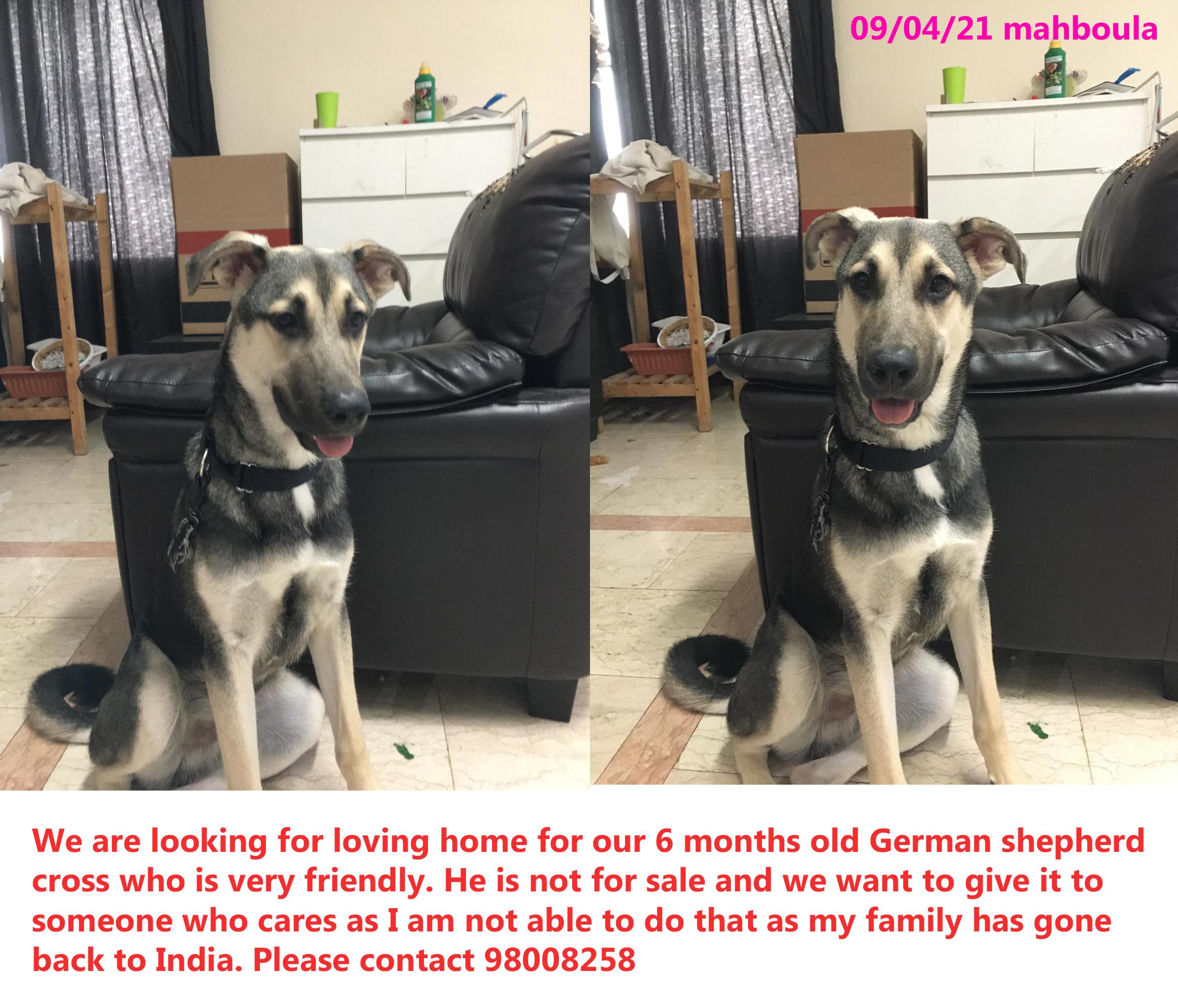 German shepherd for give away