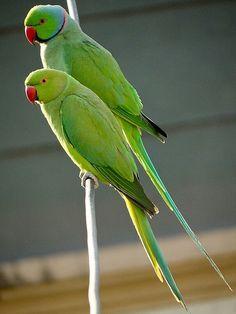 Holland Ringneck parrot
