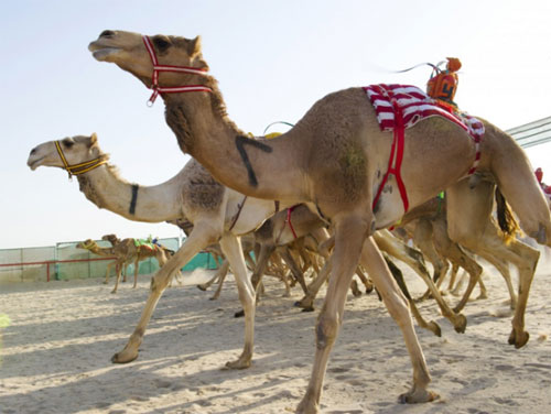 A  Day In The Kuwait Camel Racing Club
